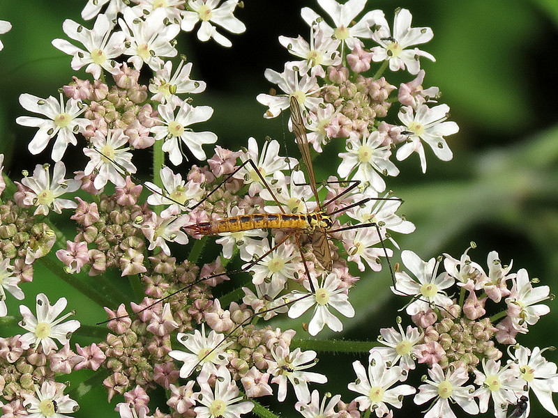 Spotted Crane-fly - Nephrotoma appendiculata