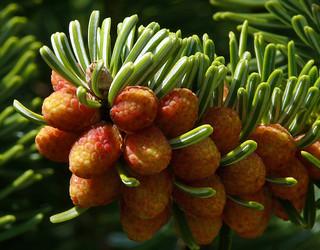 Abies nordmanniana ssp. equi-trojani #5   by J.G. in S.F.