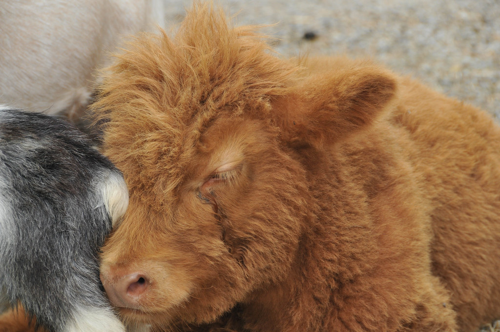 fluffy baby cow