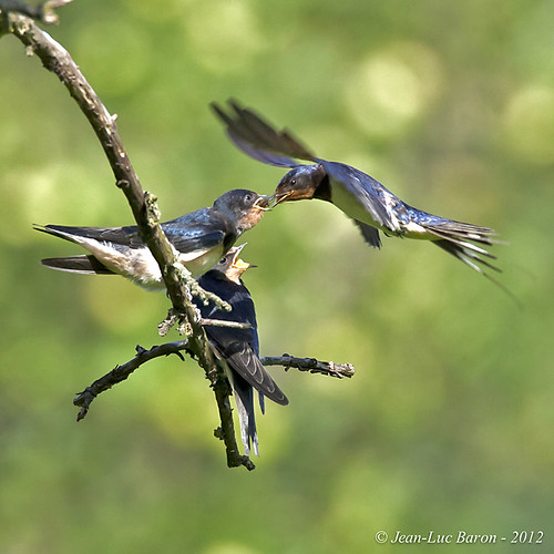 Barn Swallow (Hirundo rustica) | by Jeluba