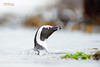 Jackass Penguin by Nicola Destefano - Wildlife Photography