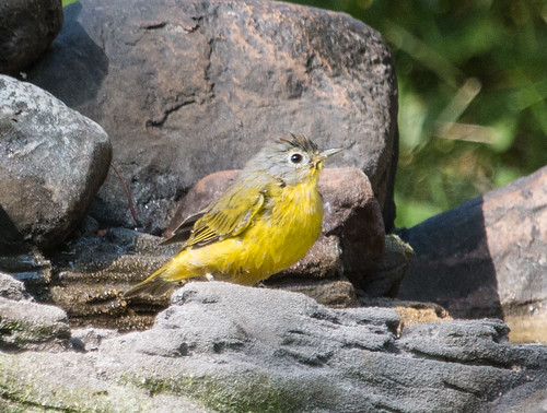 Nashville Warbler at birdbath
