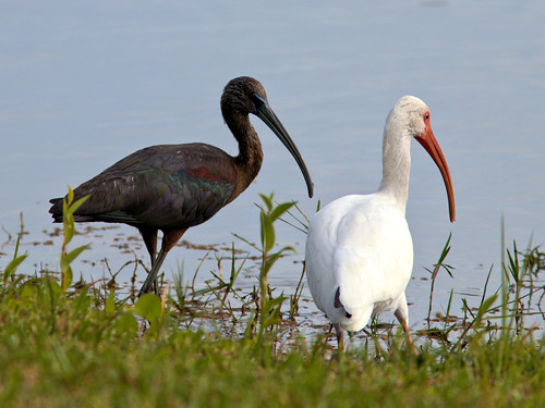Glossy and White Ibises 20170127