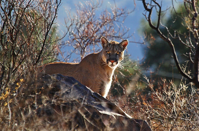 Mountain Lion, Big Bend National Park, Texas