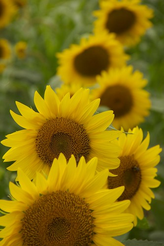 summer plant flower color yellow happy raw bright sunflower bloom naturesfinest