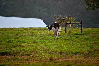 Cow | by Five Furlongs
