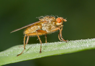Dung Fly | by Alf Branch