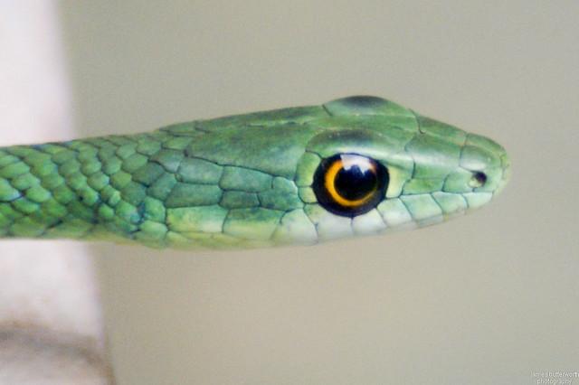 Natal Grass Snake