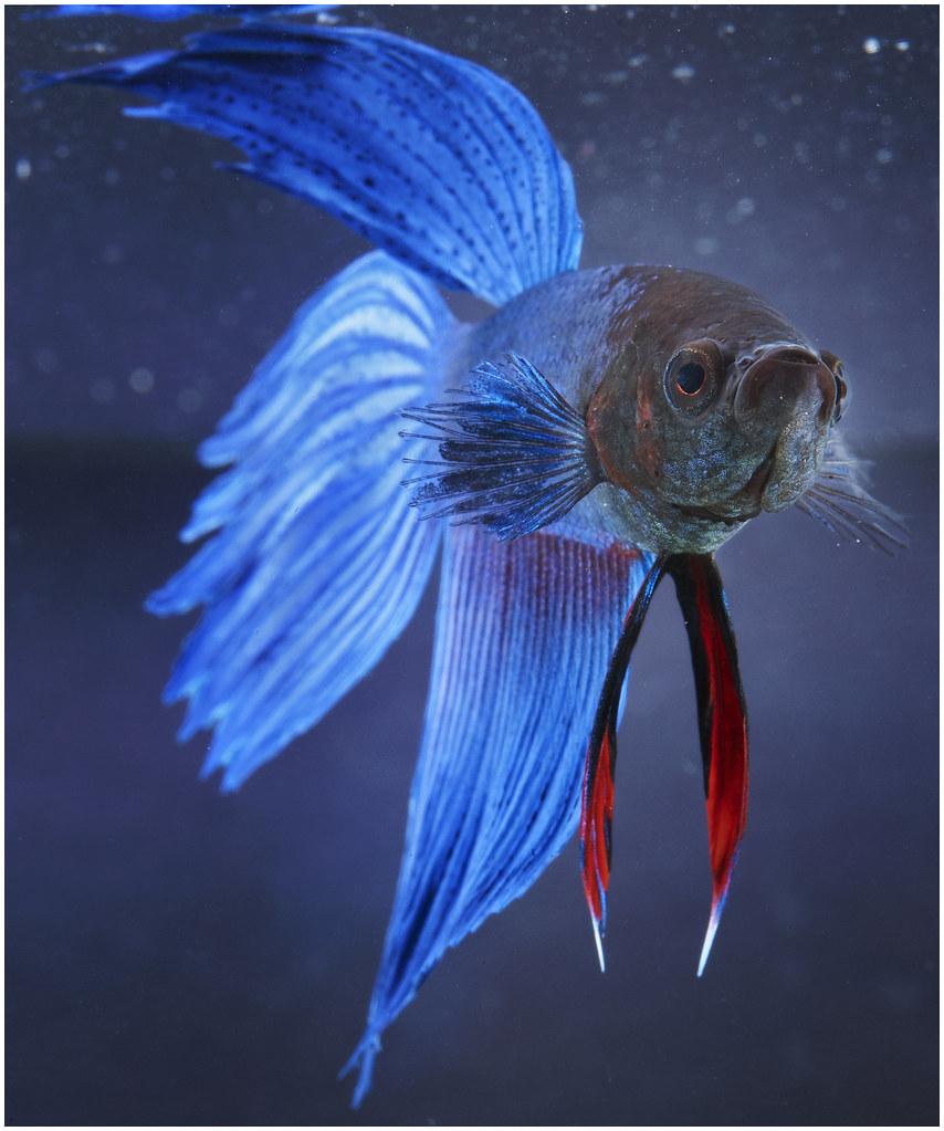 Male Betta Fish Also Known As A Siamese Fighting Fish