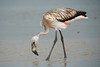 Flamingo-dos-andes (Phoenicoparrus andinus) juvenil by Cláudio Dias Timm