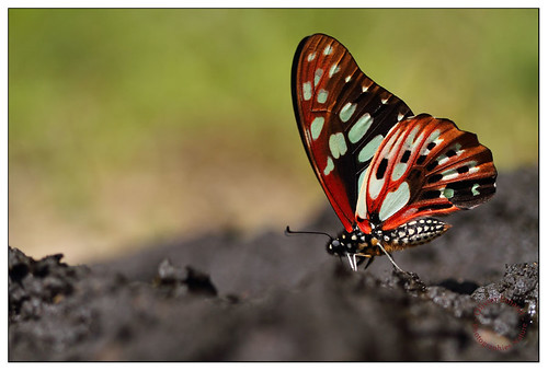 Graphium cyrnus [EXPLORED] | by Pillot
