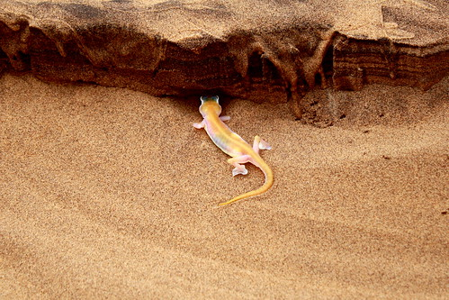 Palmatogecko | by Jean & Nathalie