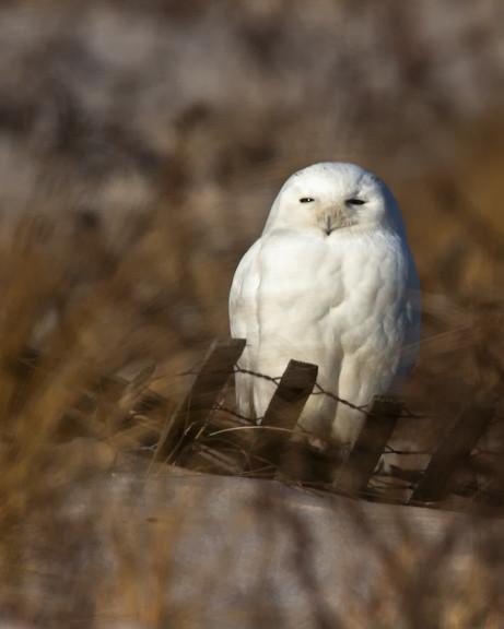 snowy_owl_1119_JB_01_16_12_resized