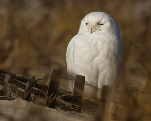 snowy_owl_1141_JB_01_16_12_resized