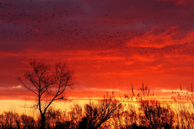 Starlings_at_Sunrise