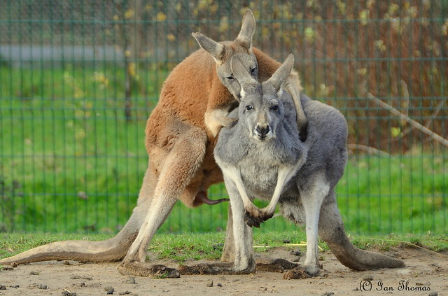 Talk About Bent Over And Ready For It ..... Two Horny Kangaroos At Blackpool Zoo ....