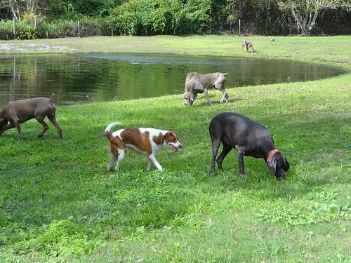 rescue pets lake dogs animals florida weimaraner dogrescue