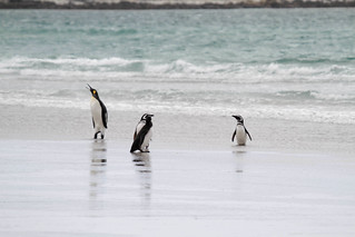 Gentoo, Magellanic, and King Penguins | by rwoan
