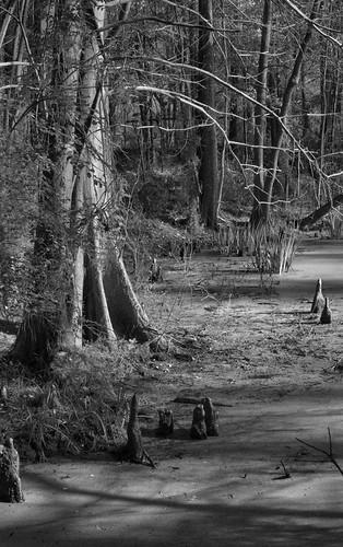 canonef28135mmf3556isusm 28mm pond hiddencreek libertyrdswamp swamp trees cypresstrees cypressknees water landscape blackandwhite bw oloneo mrgreenjeans gaylon gaylonkeeling