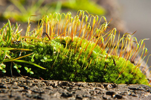 Moss with fruiting bodies