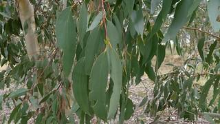 Eucalyptus pauciflora leaves   by John Tann