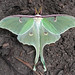 North American Luna Moth - Photo (c) Patrick Randall, some rights reserved (CC BY-NC-SA)