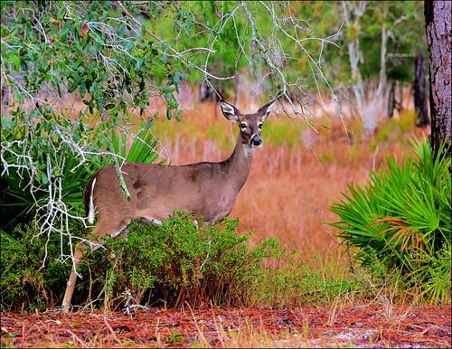 florida doe deer panamacitybeach whitetaileddeer standrewsstatepark floridastateparks nikond3100 nikkor70300afsvrlens