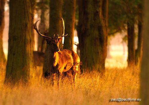 park ireland wild dublin tree phoenix grass sunrise canon deer 7d 70200mm morningglow
