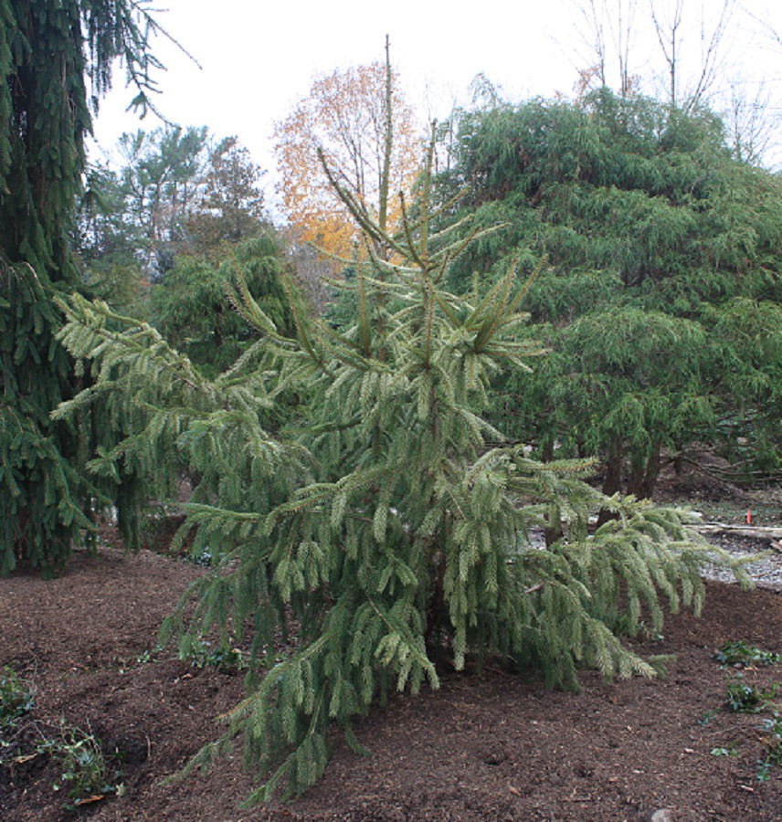 Picea Abies Elegantissima Zone 2 Height 8ft Tall And Flickr