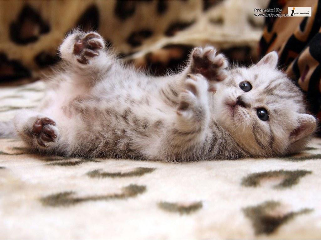 Baby Cute Cat Wallpaper
