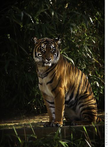 Sumatran Tiger | by crystalliora ✦ vesper704