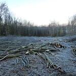 Frost covered coppice