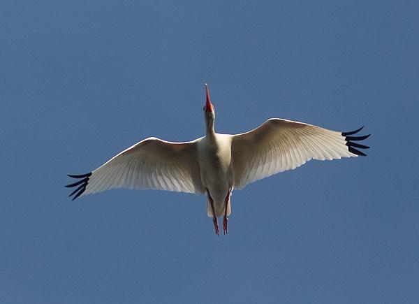 Hvítíbis-White Ibis-Eudocimus albus