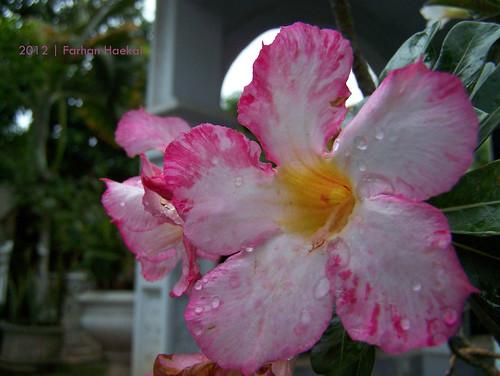 morning pink red flower nature beautiful sunrise kodak weekend waterdrops jepang kamboja adenium z650 kambojajepang merahmuda