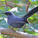Mulato Azul - Photo (c) Jerry Oldenettel, algunos derechos reservados (CC BY-NC-SA)