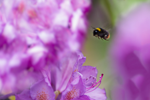 Macro moving bumblebee surrounded by pink flowers