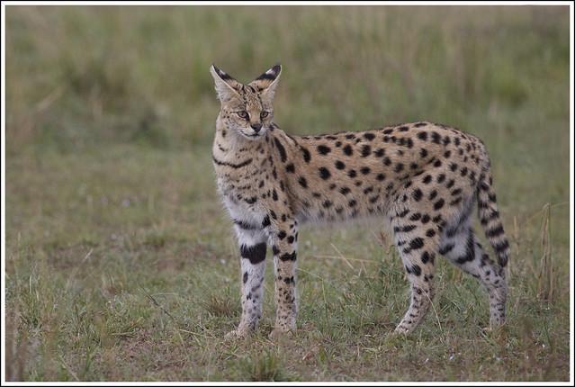 Serval (katachtige)