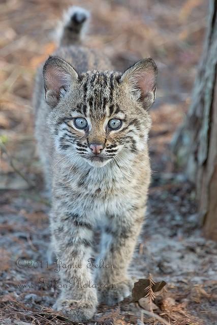 Bobcat kitten (or bobcat cub)  in the wild. Sony A77