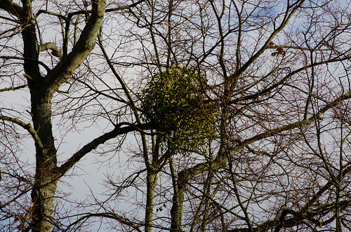 Mistletoe, Coventry city centre