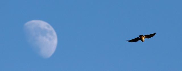 Buzzard and Moon