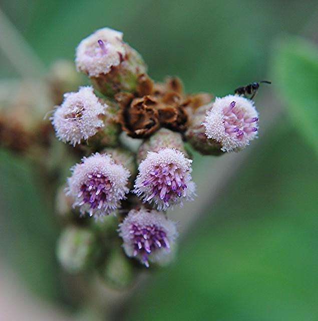 Hollow Joe-Pye Weed erupts in purple and blue flowers!