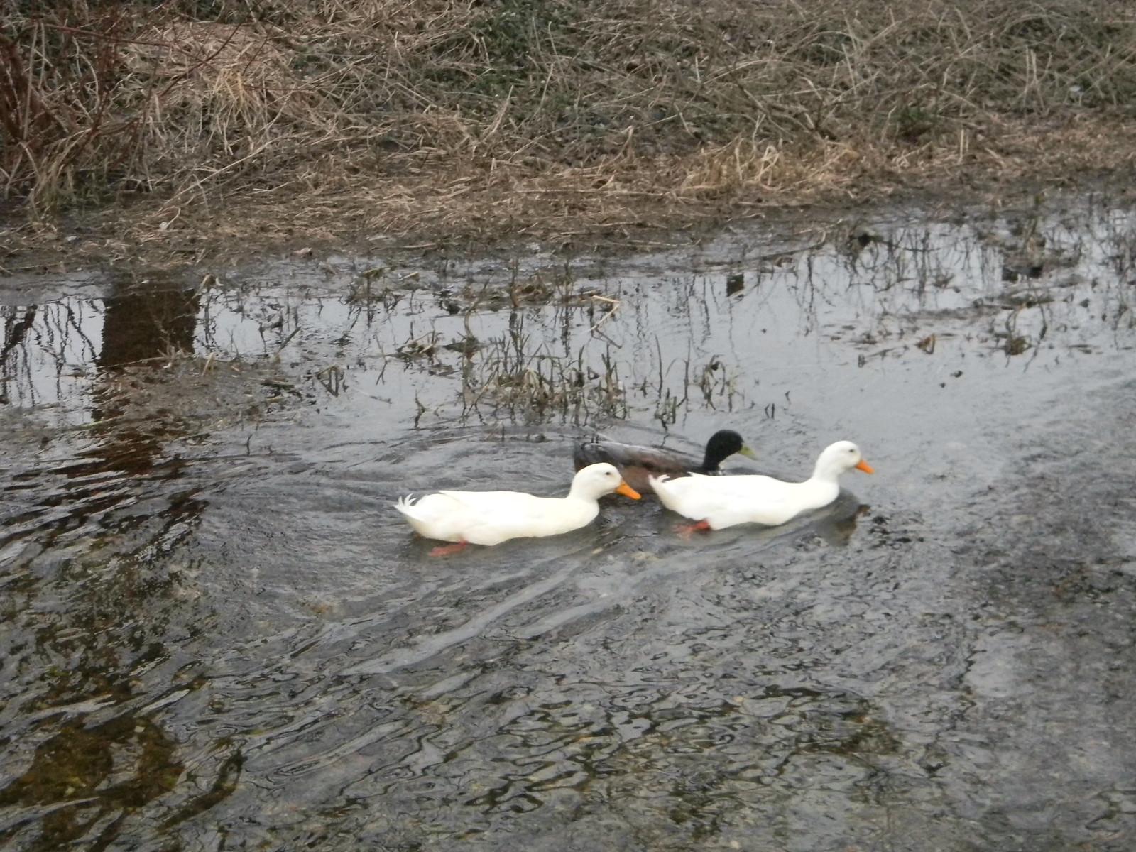Ducks (Like swans but with shorter necks). Eynsford Circular