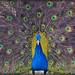 The pride of the peacock is the glory of God. by Tabinda B@ri