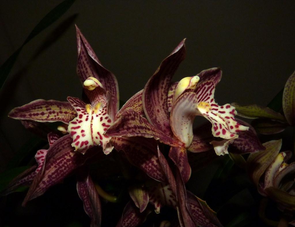 Cymbidium Enzan Knuckle /'Paulista/' orchid