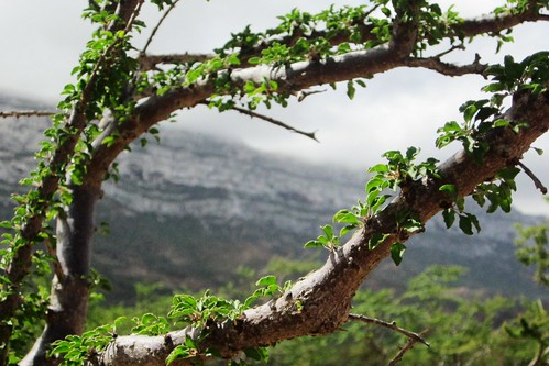 Frankincense branches | by Gerry & Bonni