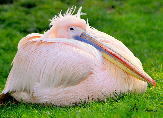 Peli-Cant Or Pelican .. Blackpool Zoo
