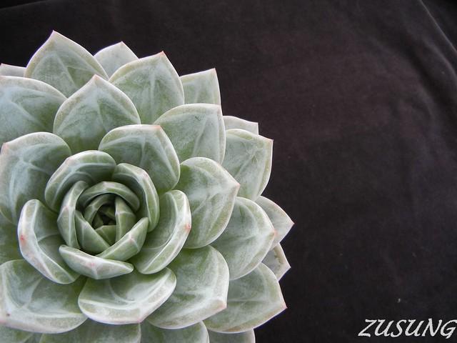 Echeveria 'White Champaign'