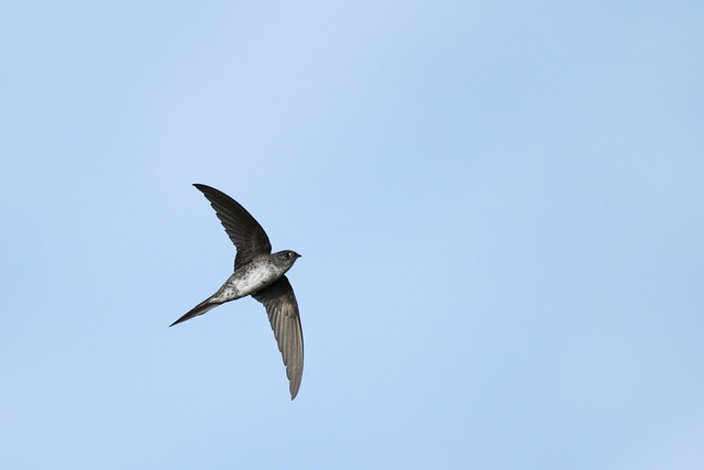 fork tailed palm swift
