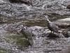 Torrent Duck Merganetta armata, Yala by Allan Drewitt