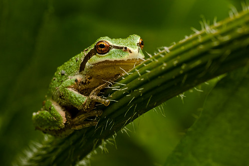 frogs pacifictreefrog favouritewildlifestewart002tnt11 greenwildlifenaturemacro